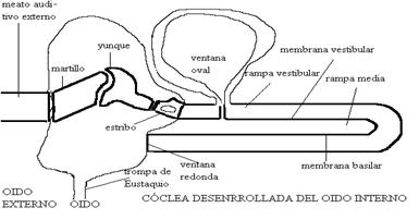 Estructura del oído interno
